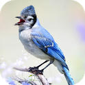 Blue Jay Sounds icon