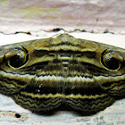 The Indian Owlet-moth