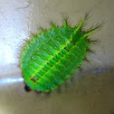 Thorny Slug Caterpillar