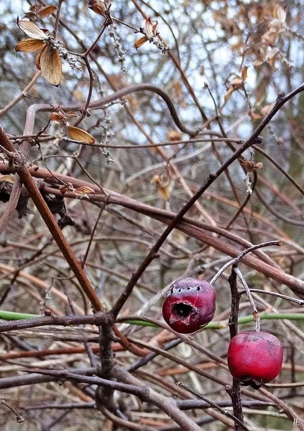 2019-01-01 bei Lüchow (17) Weissdorn (Crataegus)-Beeren + Hopfen (Humulus lupulus)-Ranken vom Vorjahr