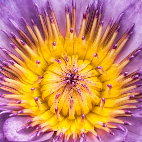 Introverted Lily by Gordon Koh - Flowers Single Flower ( macro, purple, lily, nature, yellow, flower )