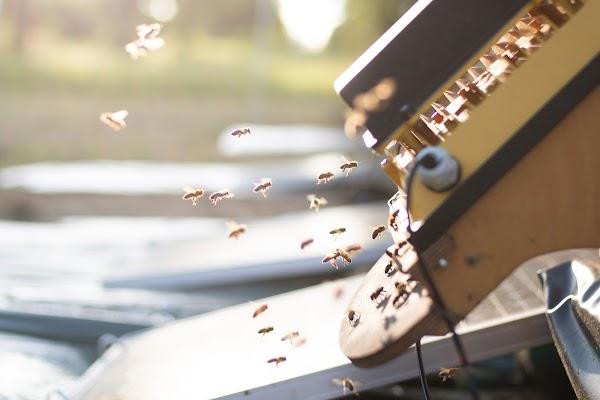 Abelhas entrando na colmeia, passando por baixo da câmera