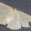 Cream Wave Moth