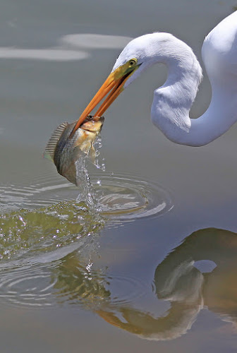 Ouch, that has to hurt ! by Steve BB - Animals Birds ( bird, strike, wading, beak, heron, tilapia, animal, motion, animals in motion, pwc76,  )
