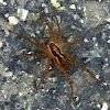 Funnel Web weaver