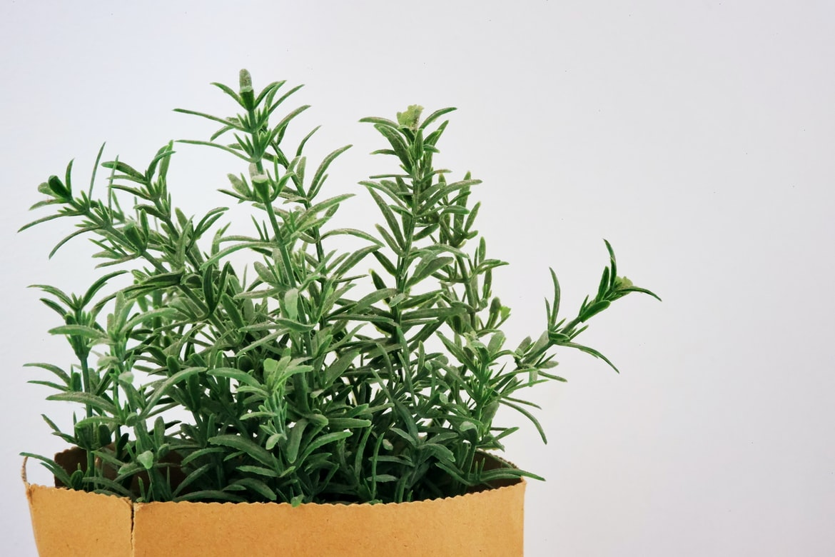 Herbs for Dogs Rosemary
