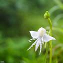 Spreading Flowered Habenaria