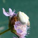 Heather crab spider