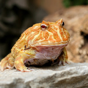 orange frog1.JPG