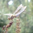 Common darter ♀
