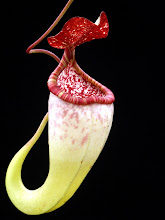 Photo: Nepenthes species. Foto: R. Cantley.