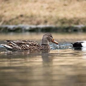 Floating Ducks by Candra Creason - Animals Birds ( pond, duck, ducks, lake, park )