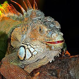 Le sourire de l'iguane by Gérard CHATENET - Animals Reptiles