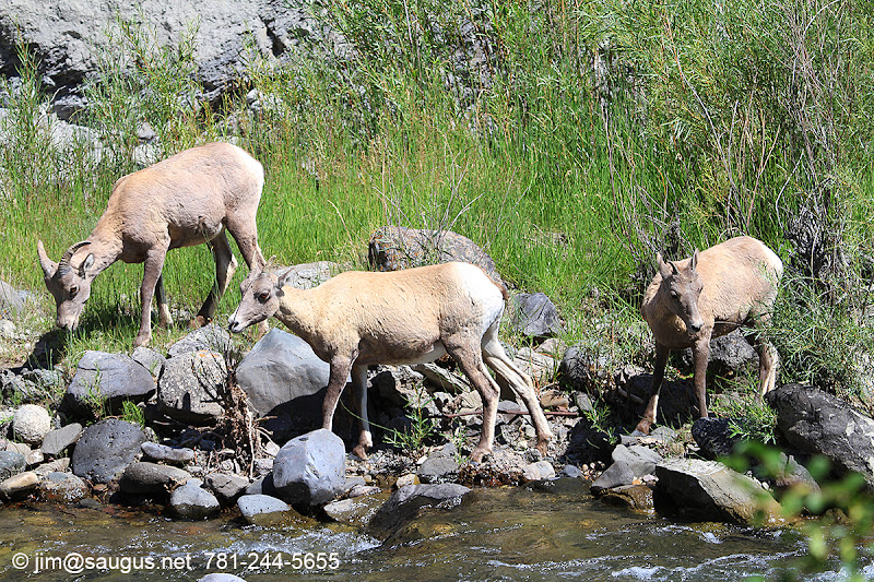 "Photo: Bighorn Sheep near the ""Boiling River"" area in Yellowstone."