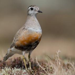 Boltit by Kjetil Salomonsen - Animals Birds