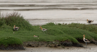 Photo: Avocet Chicks