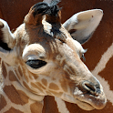 free giraffe wallpaper icon
