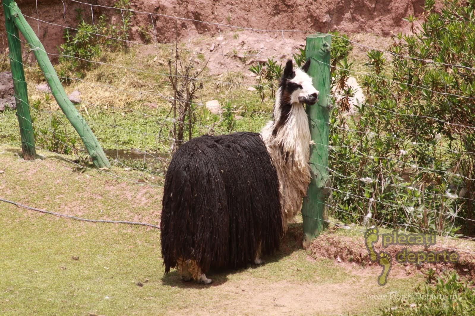 Llama cu multa lana, un animal tipic din America de Sud, la Sanctuarul animalelor din Cochahuasi, un obiectiv turistic din Valea Sacra, Peru