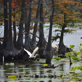 Reelfoot Lake at Gray's Camp by Sidney Vowell - Novices Only Wildlife ( bird, fly, flight )