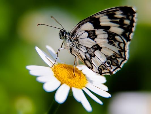 Farfalla di batfabio