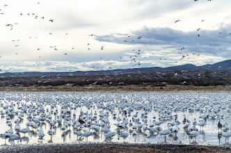 Photo: Snow geese gathering toward end of day