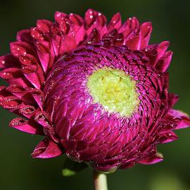 Dahlia 8619~ 1 by Raphael RaCcoon - Flowers Flower Buds