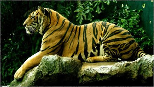 タイガーの壁紙
