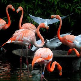 Competition by Gordon Simpson - Animals Birds