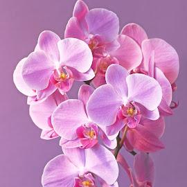 Orchid blossom by Mia Ikonen - Flowers Flower Arangements ( mia ikonen, blossom, purple, orchid, finland )