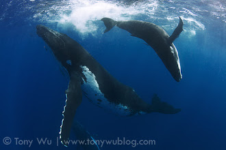 Photo: Humpback whale calf Toluua playing, with mom and escort below