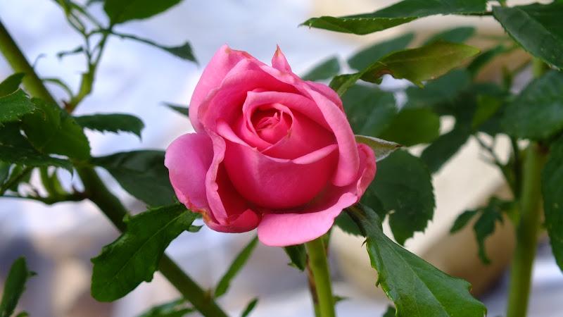 Tea rose di biloscurio