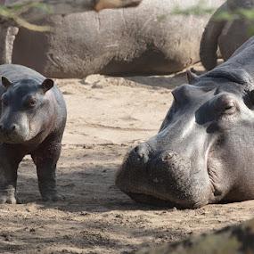 Baby Hippo by VAM Photography - Animals Other Mammals ( tanzania, hippo, nature, animal, travel )