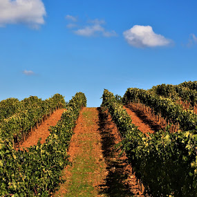 Grapes by Cosimo Resti - Landscapes Prairies, Meadows & Fields ( agriculture, italy, wine, grapes )