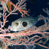Narrow-Lined Puffer