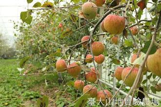 Photo: 拍攝地點: 梅峰-蘋果園 拍攝植物: 富士蘋果 拍攝日期:2012_10_30_FY