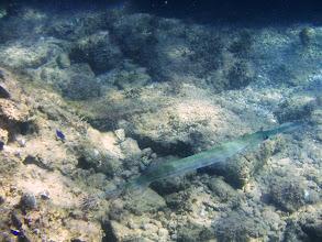 Photo: Live trumpet fish