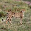Guepardo (Cheetah)