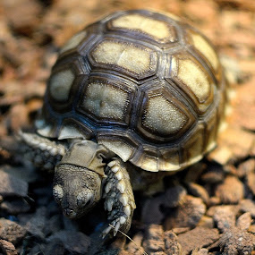 Tortoise by Rudyanto A. Wibisono - Animals Other ( #tortoise )