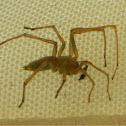 Northern yellow sac spider