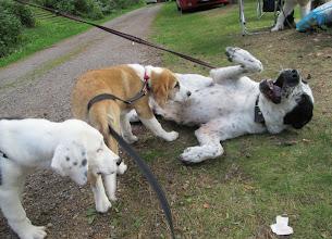 Photo: Helmi tapasi vieraita koiria, sisaruksiaan ja emäänsä Porvoossa. Lisää kuvia retkestä https://plus.google.com/photos/104905803630830243161/albums/6055973857783486417?authkey=CPXG1-Hch5yn_QE