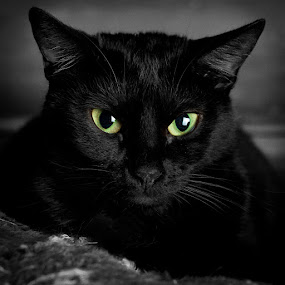 Black Attack by Curtis Jones - Animals - Cats Portraits ( cat, black and white, green eyes, pussy, black cat )