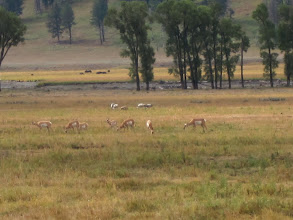 Photo: Pronghorn in Lamar Valley (with Sandhill Cranes in background)