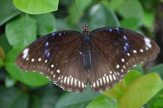Photo: Great egg-fly butterfly (female)