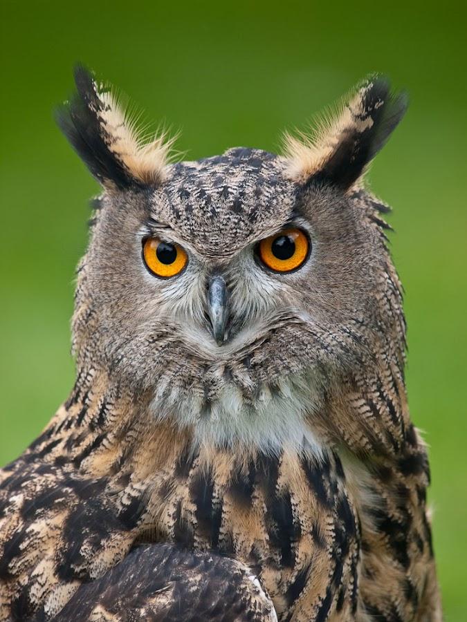 Hooo me? by Paul Bousie - Animals Birds