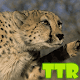 Download free cheetah live wallpaper For PC Windows and Mac