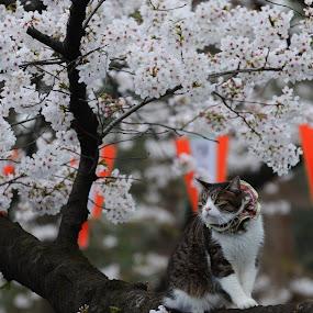 Cat and Sakura Flower by Baka No Hito - Animals - Cats Playing