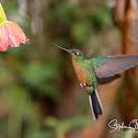 Buff winged Hummingbird