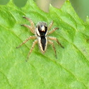 Jumping Spider - male & female