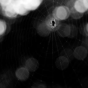 Spider by Attila Kropf - Animals Other ( sunset, white, spider, bokeh, black )