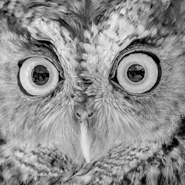 Screech Owl by Debbie Quick - Black & White Animals ( raptor, debbie quick, owl, nature, screech owl, debs creative iamges, birds of prey, outdoors, bird, animal, black and white, wild, wildlife )